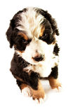 Bernese Mountain Dog Royalty Free Stock Image