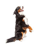 Bernese Mountain Dog Begging Stock Photos