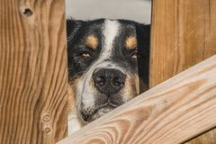 A Bernese mountain dog is watching behind a wood fence. royalty free stock photos