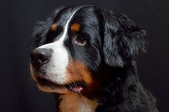 Bernese Mountain dog. Berner sennenhund large-sized dog from Swiss Alps. Black, brown and white Royalty Free Stock Photos