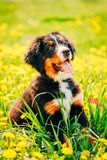 Bernese Mountain Dog (Berner Sennenhund) Puppy Royalty Free Stock Photo