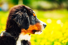 Bernese Mountain Dog (Berner Sennenhund) Puppy Stock Photos
