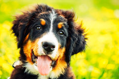 Bernese Mountain Dog (Berner Sennenhund) Puppy Stock Image