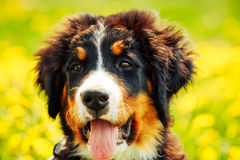 Bernese Mountain Dog (Berner Sennenhund) Puppy Stock Image