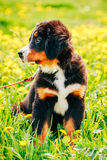 Bernese Mountain Dog (Berner Sennenhund) Puppy Stock Photo