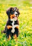 Bernese Mountain Dog (Berner Sennenhund) Puppy Royalty Free Stock Photos