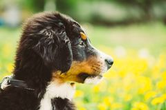 Bernese Mountain Dog Berner Sennenhund Puppy Stock Photo