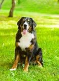 Bernese mountain dog (Berner Sennenhund) sitting in front Stock Image