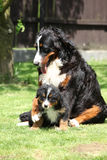 Bernese Mountain Dog bitch playing with puppy Royalty Free Stock Photos