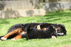 Bernese Mountain Dog bitch playing with puppy Stock Image