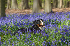 Bernese mountain dog and bluebells at Hallerbos woods Royalty Free Stock Photo