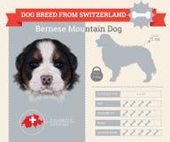 Bernese Mountain dog breed  infographics Stock Photo