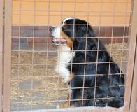 Bernese mountain dog in a cage Royalty Free Stock Photography
