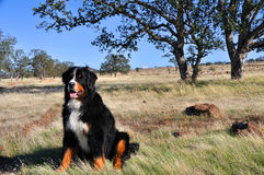 Bernese Mountain Dog in California Chapparal Royalty Free Stock Images