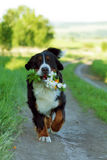 Bernese mountain dog carries flowers in his teeth. Beautiful Bernese mountain dog in the summer is on the way and bears in the teeth of a bouquet of flowers royalty free stock images
