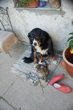 Bernese Mountain Dog with a cat royalty free stock image