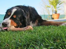 Bernese Mountain Dog Chewing Bone Royalty Free Stock Images
