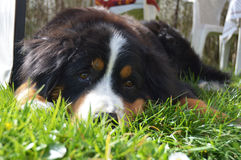Bernese mountain dog stock photos