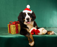 Bernese Mountain Dog with Christmas gifts. Bernese Mountain Dog wearing Santa hat, with Christmas gifts on green background Stock Photos