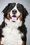 Bernese mountain dog. Close-up portrait Royalty Free Stock Images