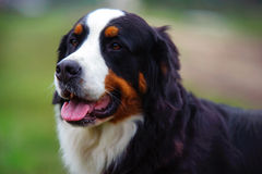 Bernese Mountain Dog. Close up portrait Royalty Free Stock Image