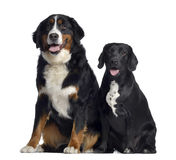 Bernese Mountain Dog and crossbreed between labrador and beagle Royalty Free Stock Photos