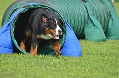 Bernese Mountain Dog at a Dog Agility Trial. Bernese Mountain Dog Leaving Tunnel at a Dog Agility Trial Royalty Free Stock Photos