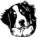 Bernese mountain dog face Stock Images