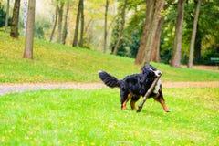 Bernese mountain dog fetching stick Stock Photos