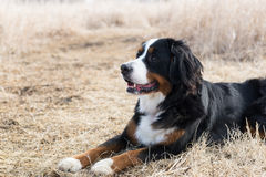 A Bernese Mountain Dog in the field. A Bernese Mountain Dog eyes other animals Stock Photography