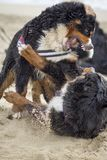 Bernese mountain dog fight royalty free stock image