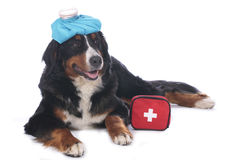 Bernese mountain dog with first aid kit. And cool pack Stock Photos