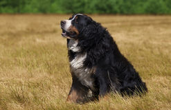 Bernese Mountain Dog in the green field Stock Image