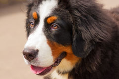 Bernese mountain dog. Head with open mouth and put out a red tongue against the background of green blurred grass. Space under the text. 2018 year of the dog Royalty Free Stock Images