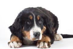 Bernese mountain dog isolated Royalty Free Stock Image