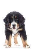 Bernese mountain dog isolated Stock Photography
