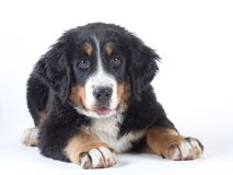 Bernese mountain dog isolated Stock Images