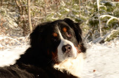 Bernese Mountain Dog. In its wintry element Stock Photo