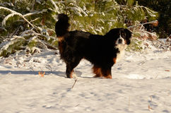 Bernese Mountain Dog. In its wintry element Stock Photos