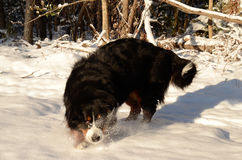 Bernese Mountain Dog. In its wintry element Royalty Free Stock Photos