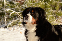 Bernese Mountain Dog. In its wintry element Stock Photography