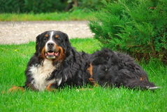 Bernese Mountain Dog Laying on Grass Stock Photography