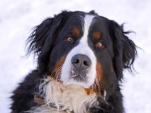Bernese Mountain Dog: Look at me ! Royalty Free Stock Photos