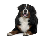 Bernese mountain dog, lying down and panting Stock Photo