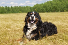 Bernese Mountain Dog lying on the field Royalty Free Stock Image