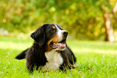 Bernese mountain dog lying on grass Stock Photos