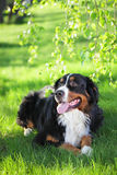 Bernese Mountain dog. Lying on green grass on town park Royalty Free Stock Photos