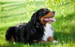 Bernese Mountain dog stock image