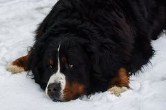 Bernese mountain dog in snow. royalty free stock image