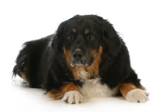 Bernese mountain dog mix Stock Image